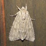9200 -- American Dagger Moth -- Acronicta americana Athol 7-11-2010.JPG