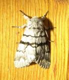 9182 - Eastern Panthea Moth Panthea furcilla Athol Ma 8-13-2010.JPG