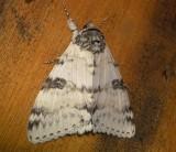 8803 – White Underwing Catocala relicta Athol Ma Athol 8-13-2010.JPG