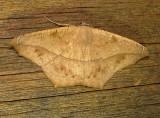 6982 B – Prochoerodes lineola Large Maple Spanworm 8-13-2010 Athol Ma.JPG