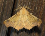 6797 Maple Spanworm Moth Ennomos magnaria 9-1-2010 Athol Ma .JPG