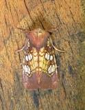 9486 – Papaipema birdi Athol Ma 9-1-2010 1.JPG