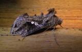 8895 Gray Looper Moth - Rachiplusia ou Athol Ma 9-28-2010.JPG
