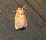 9466 -- Burdock Borer Moth -- Papaipema cataphracta  9-28-2010 Athol Ma.JPG