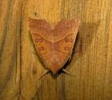 9952 -- Scalloped Sallow Moth -- Eucirroedia pampina Athol ma 9-25-2010.JPG