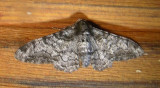 6640 B – Biston betularia – Peppered Moth Athol 8-10-2010 1.JPG