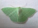 7048 E – Nemoria mimosaria White-fringed Emerald Moth  Athol 8-8-2010.JPG