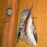 7922 Pheosia rimosa   Black-rimmed Prominent Moth Athol Ma 8-10-2010 1.JPG