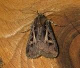 110676 – Feltia herilis – Master's Dart Moth  Athol 7-21-2010 1.JPG
