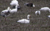 Snow Goose with neckband