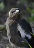 Magpie (Fledgling)