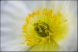 Poppy 20