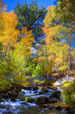 Clear Creek Aspens