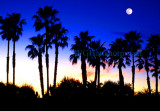 Moonlight Palms