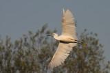 Little Egret ( Egretta Garzetta )