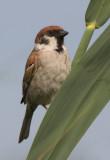 Tree Sparrow ( Passer montanus )