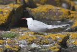 Arctic Tern - Sterna artica