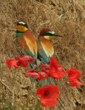 Bee-eater1