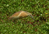 Squacco Heron with prey