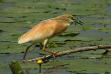 Squacco Heron with catch