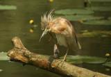 Squacco Heron scraping