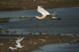 Spoonbill and Terns