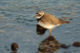 Limicoli - Shorebirds