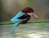Smyrnakungsfiskare White-throated Kingfisher Halcyon smyrnensis