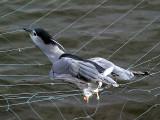 Natthäger Black-crowned Night Heron Nycticorax nycticorax