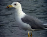Armensk trut Armenian Gull Larus armenicus