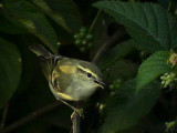 Taigasångare Yellow-browed Warbler Phylloscopus inornatus