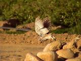 Minervauggla Little Owl Athena noctua