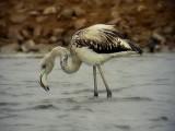 Större flamingo Greater Flamingo Phoenicopterus roseus