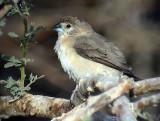 Silvernäbb Indian Silverbill Euodice malabarica