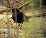 Svart trädnäktergal Black Bush Robin Cercotrichas podobe