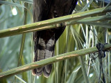 Tofsbivråk Crested Honey Buzzard  Pernis ptilorhyncus