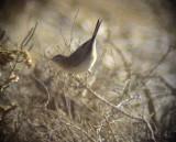 Ökensångare Desert Warbler Sylvia nana