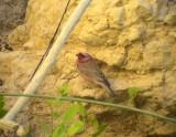 Sinairosenfink  Sinai Rosefinch  Carpodacus synoicus