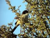 Arabsångare Arabian Warbler Sylvia leucomelaena