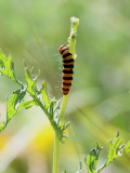 Karminspinnare Cinnabar mothTyria jacobaeae