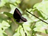 Eksnabbvinge  Purple Hairstreak Favonius quercus