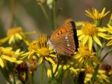 Vitfläckig guldvinge - The Scarce copper - Lycaena virgaureae