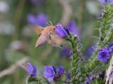 Liten snabelsvärmare Deilephila porcellus Small Elephant Hawk-moth ??
