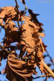 oak....I think