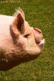 haa haa haa said the pig