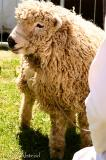 ram-a-lamb