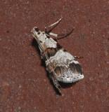 Watson's Tallula Moth (5592)