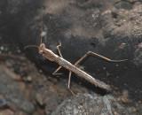 Minor Ground Mantis