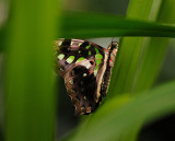 Tailed Green Jay