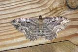 Barberry Geometer Moth (7290)